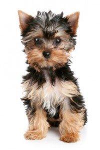 Yorkie, Yorkshire Terrier