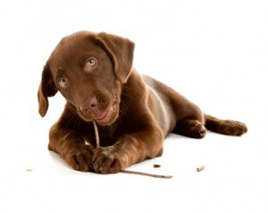 What to do with puppies eating rocks and sticks