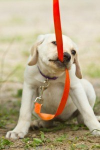 Puppy biting leash during training