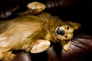Golden Retriever Asleep on Couch
