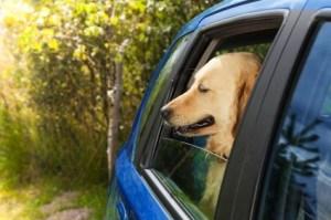 funny dog in blue car
