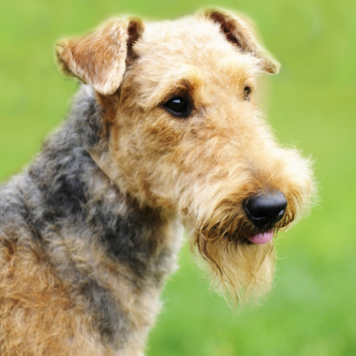 Airedale Terrier Dog Breed Information and Facts