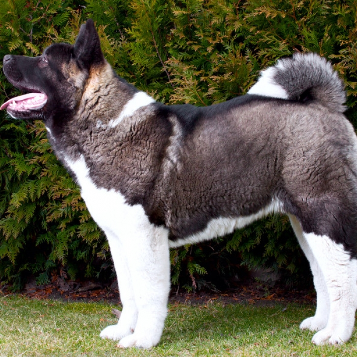Akita Dog Breed Information and Facts