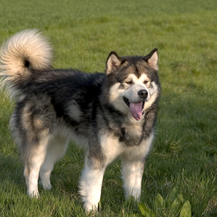 alaskan malamute breed information buying advice alaskan malamute breed information and facts 589