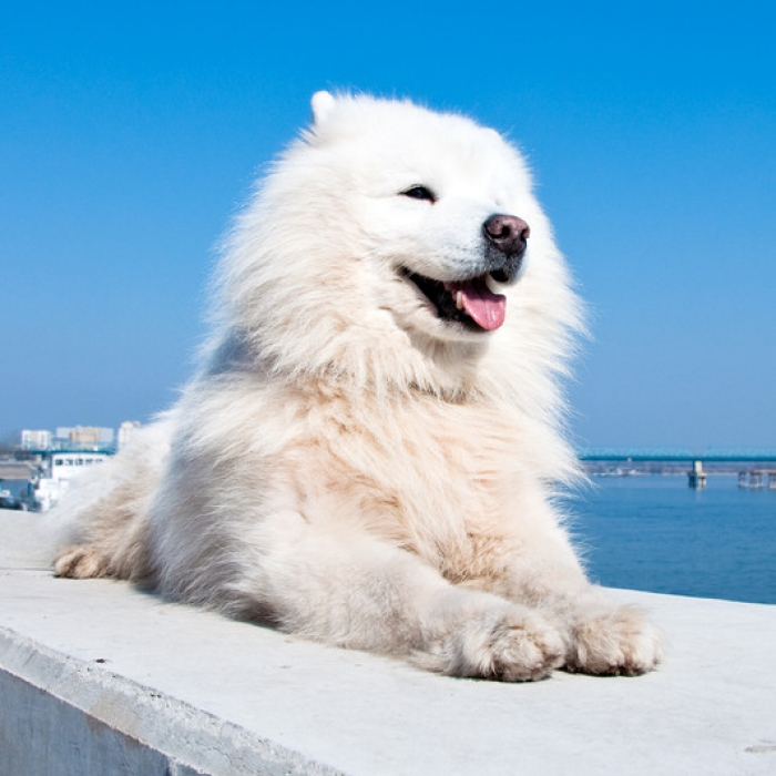 The American Eskimo Dog For Sale