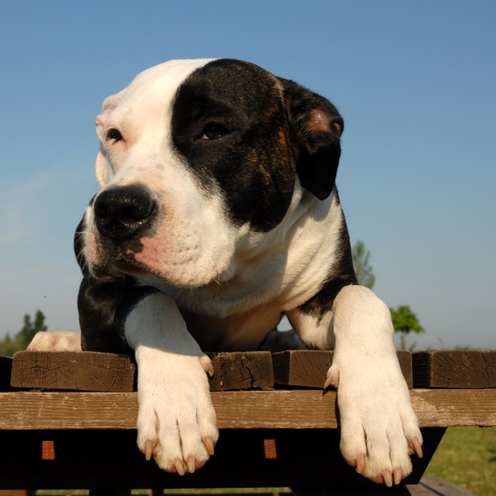 American pit bull terrier dog breed information and facts