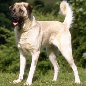 Anatolian Sheperd Dog Breed Information and Facts
