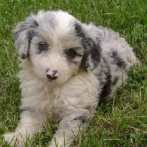 Aussiedoodle Dog Breed Information and Facts
