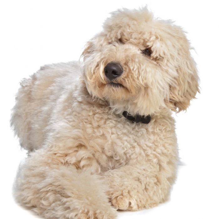 australian labradoodle dog breed information and facts