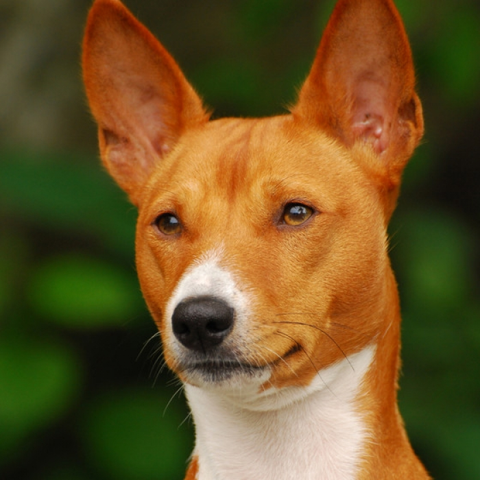 Basenji Dog Breed Information And Facts