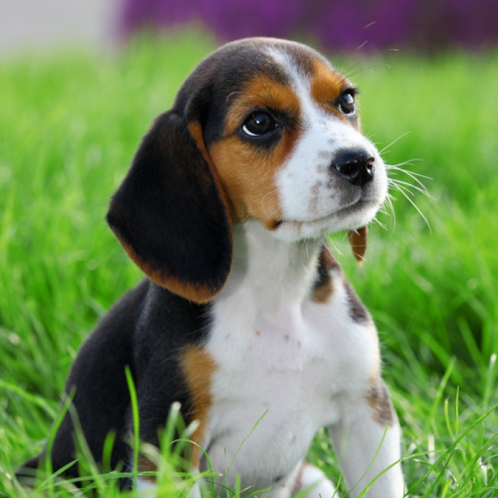 A Beagle Puppy Beagle