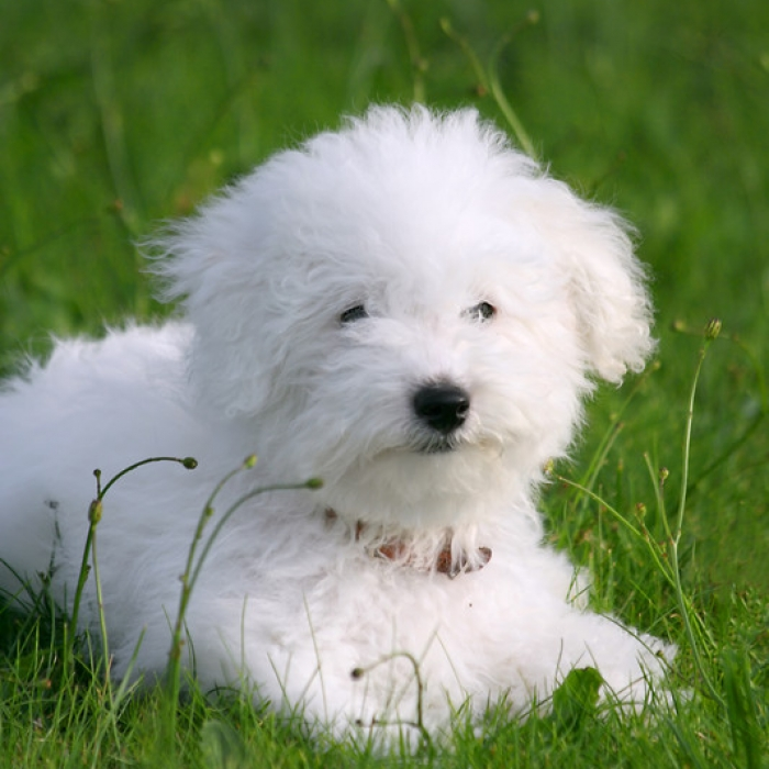Bichon Frise Breed Information And Facts
