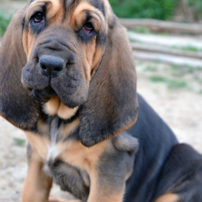 How Long Does it Take a Bloodhound to Track and Locate a ...