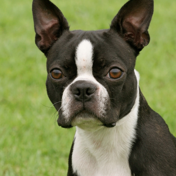 Boston Terrier Breed Information And Facts