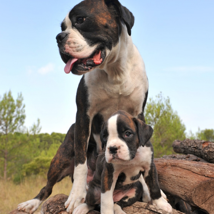 Boxer Puppies For Sale - Stout and Friendly Boxer Puppies