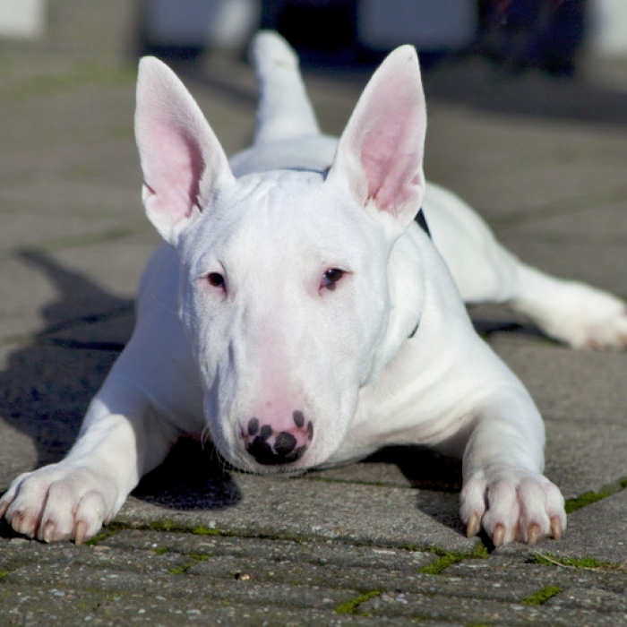 Bull terrier breed information and facts