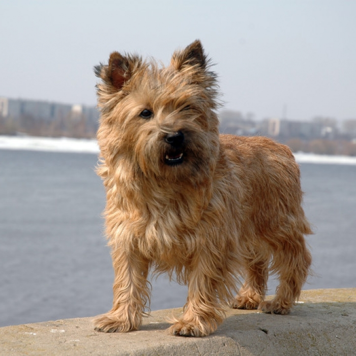 Cairn Terrier Dog Breed Information and Facts