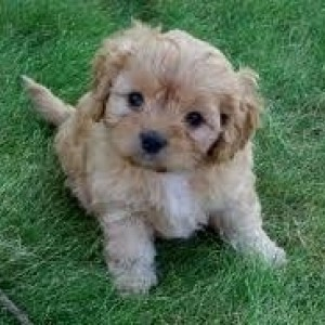 Cavapoo Dog Breed Facts And Information