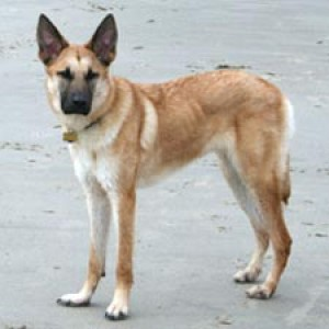 Chinook Dog Breed Facts And Information