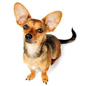 Chiweenie Dog Breed | Facts and Information