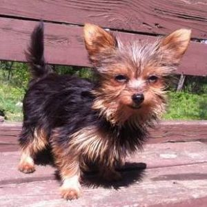 chorkie dog breed information and facts