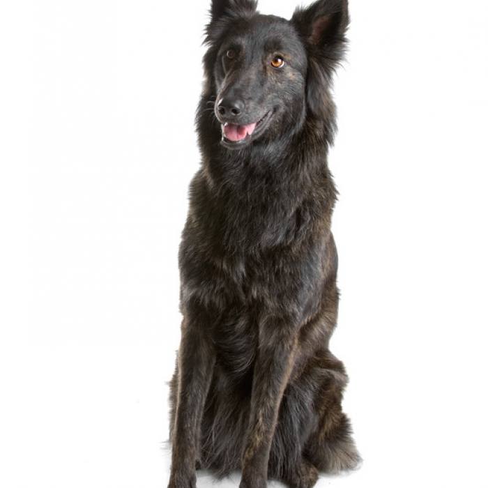 Dutch Shepherd Breed Information And Facts