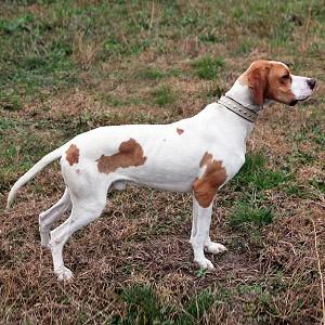 English Pointer Puppy English Pointer Breed Information