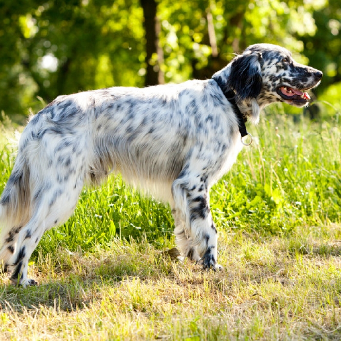 english setter puppy english setter breed information. Black Bedroom Furniture Sets. Home Design Ideas