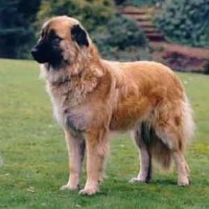 Estrela Mountain Dog Breed Information