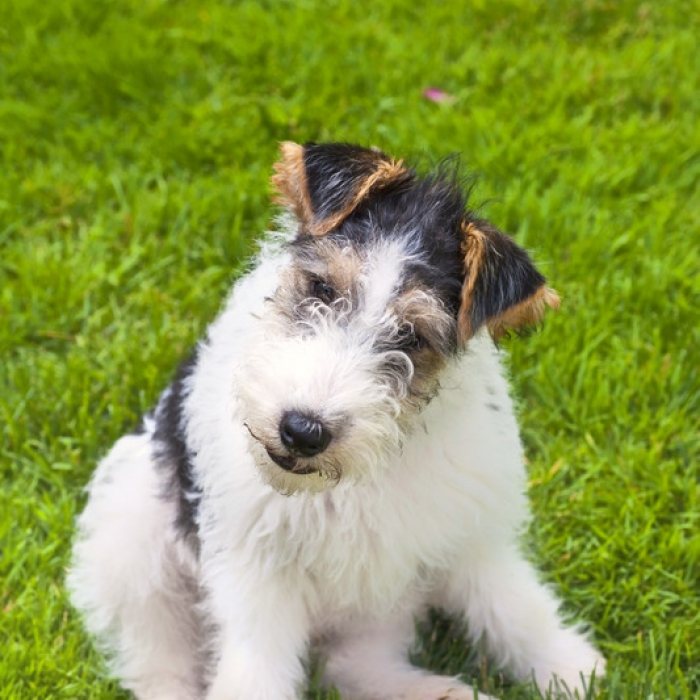 how to train your fox terrier puppy