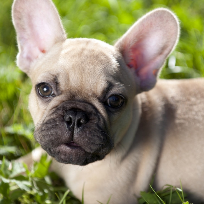 french bulldog puppy & french bulldog breed information