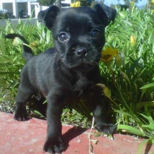 French Pug Dog Breed Information