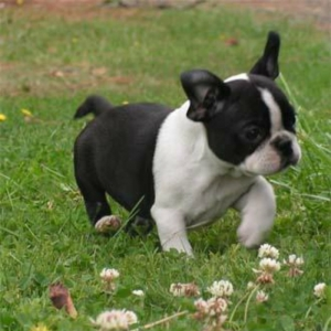 Frenchbo Puppies For Sale