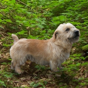 Glen of imaal terrier puppies for sale glen of imaal terrier altavistaventures Images
