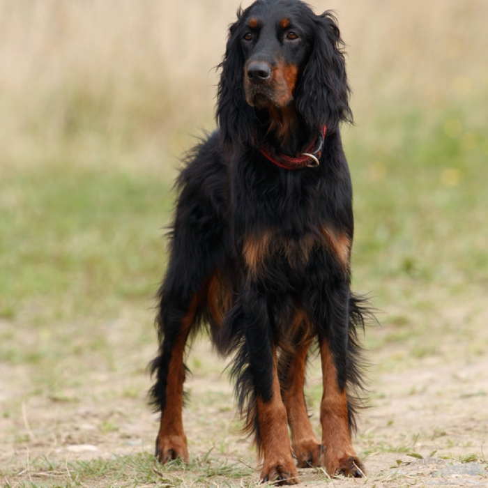 Gordon Setter Puppy & Gordon Setter Breed Information