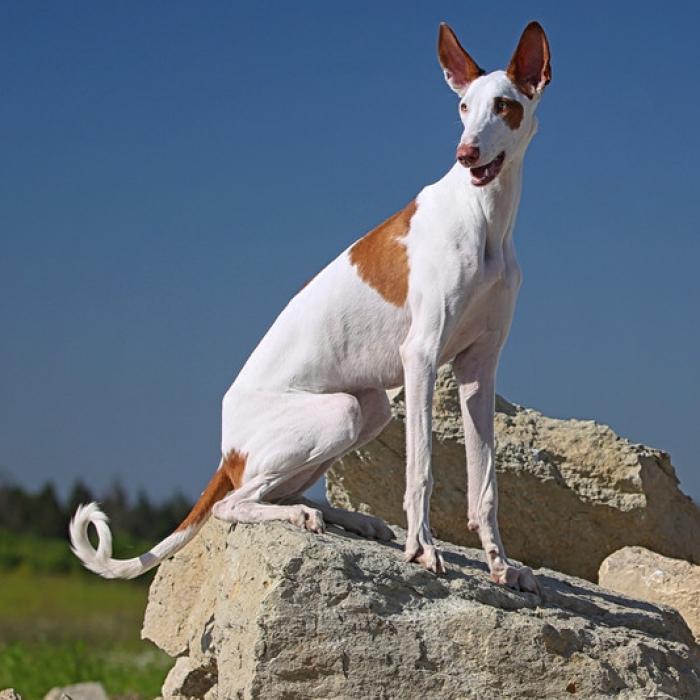 Ibizan Hound Puppy & Ibizan Hound Breed Information Ibizan Hound Uk Breeders