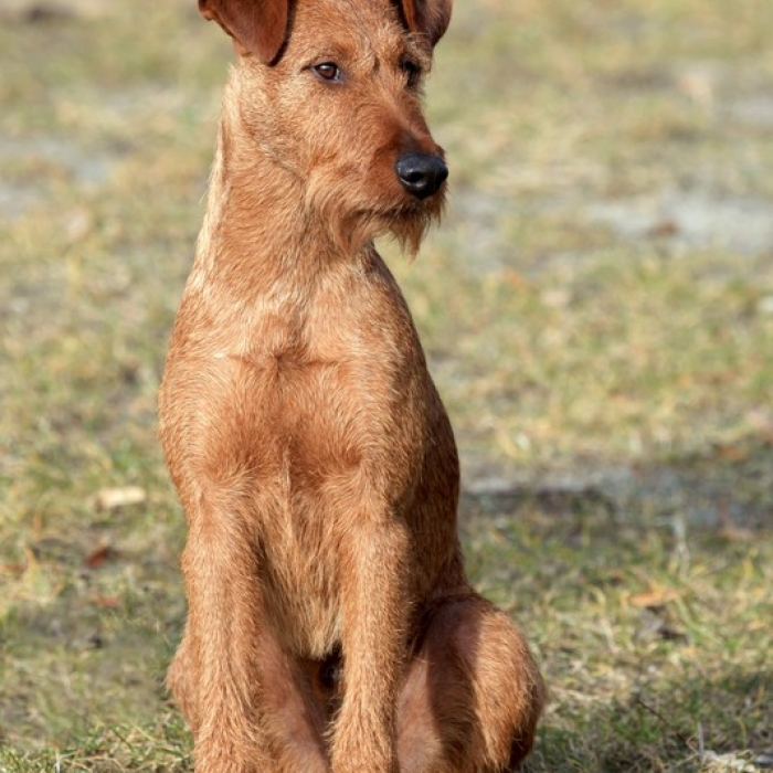 Irish Dog Breeds Terriers