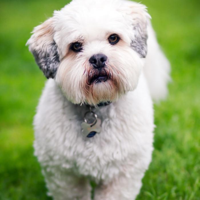 Lhasa Apso Haircuts Dog Breeds Index | Bed Mattress Sale