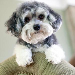 Maltipoo Puppy Amp Maltipoo Breed Information