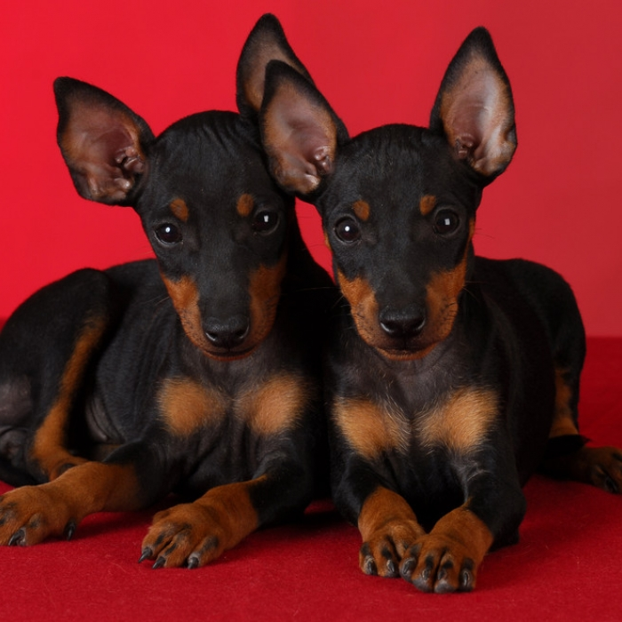 Bully Dog For Sale >> Manchester Terrier Puppies for Sale