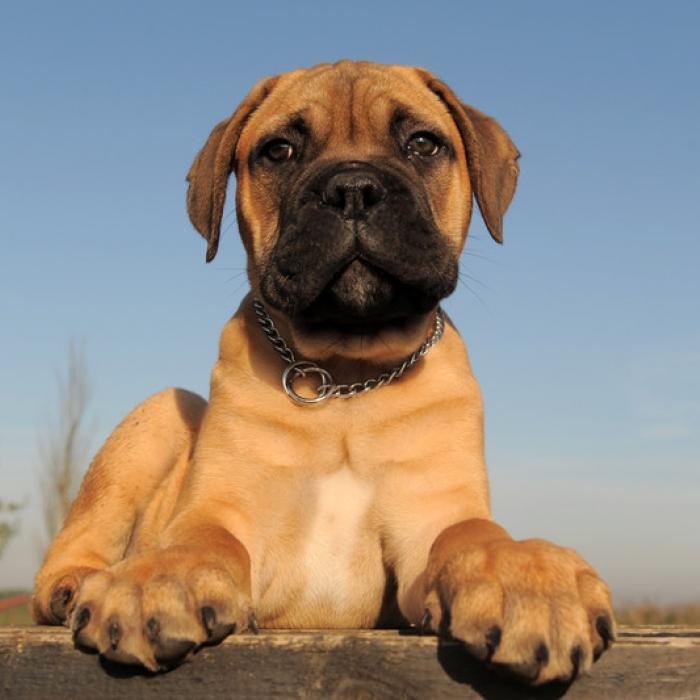 Mastiff puppy amp mastiff breed information