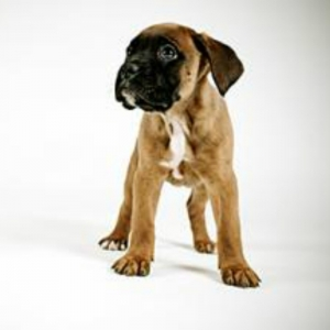 Miniature Boxer Dog Breed Information