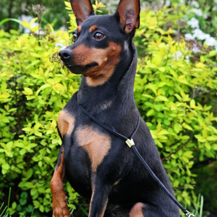 pin miniature pinscher pup - photo #40