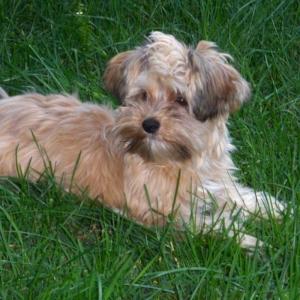 morkie puppy amp morkie breed information