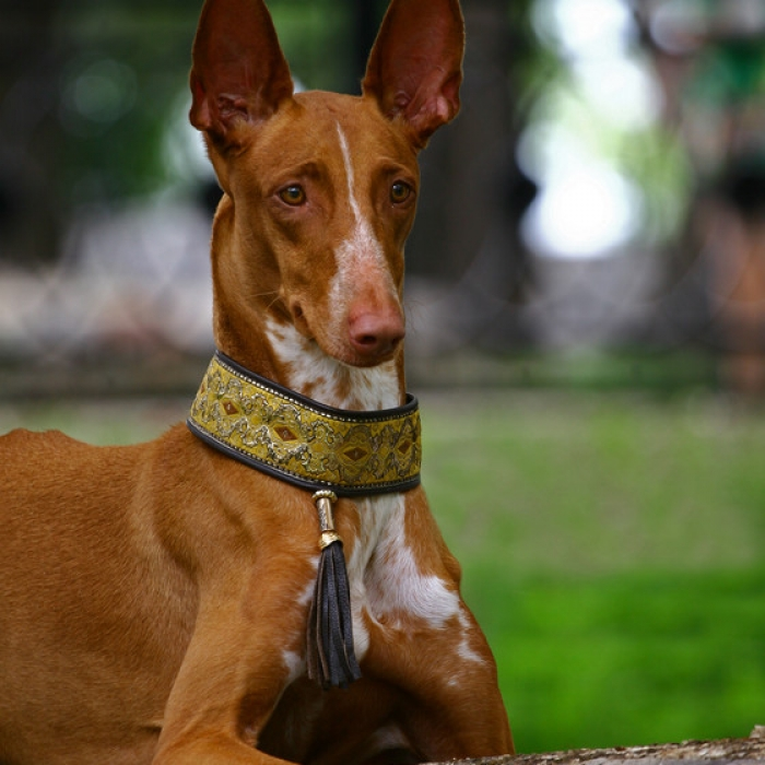 pharaoh hound puppy amp pharaoh hound breed information