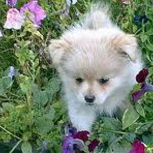 Pomapoo Dog Breed Information
