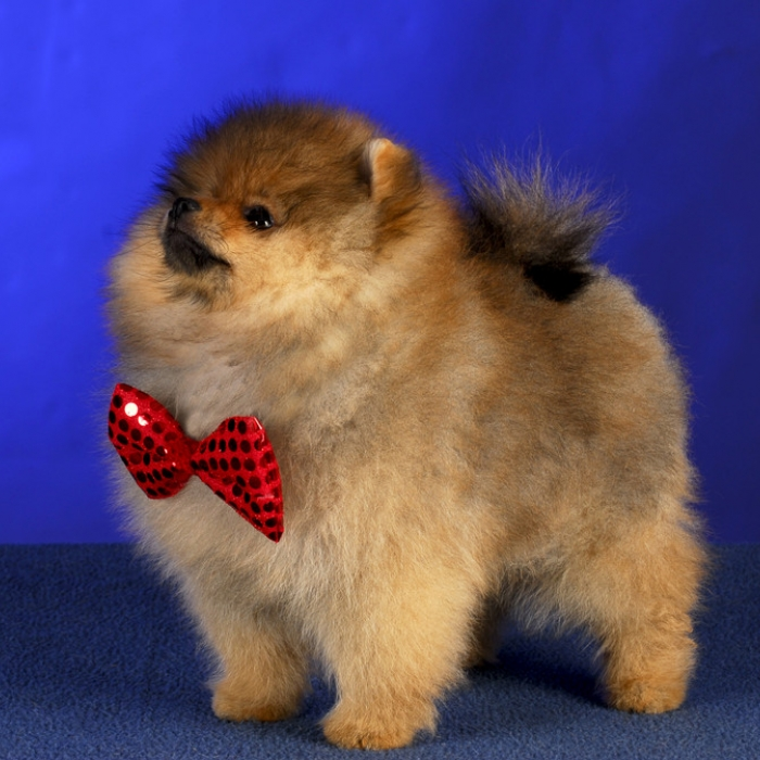 Pomeranian Puppies For Sale Purebred Pomeranians