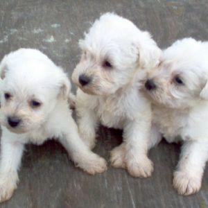 Pugapoo Dog Breed Information