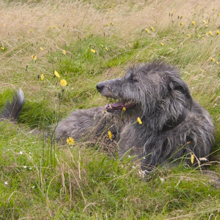 scottish deerhound information and pictures scottish