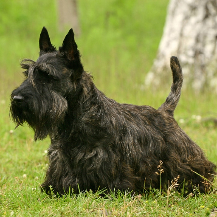 Bedlington Terrier Dog Breed Information  akcorg